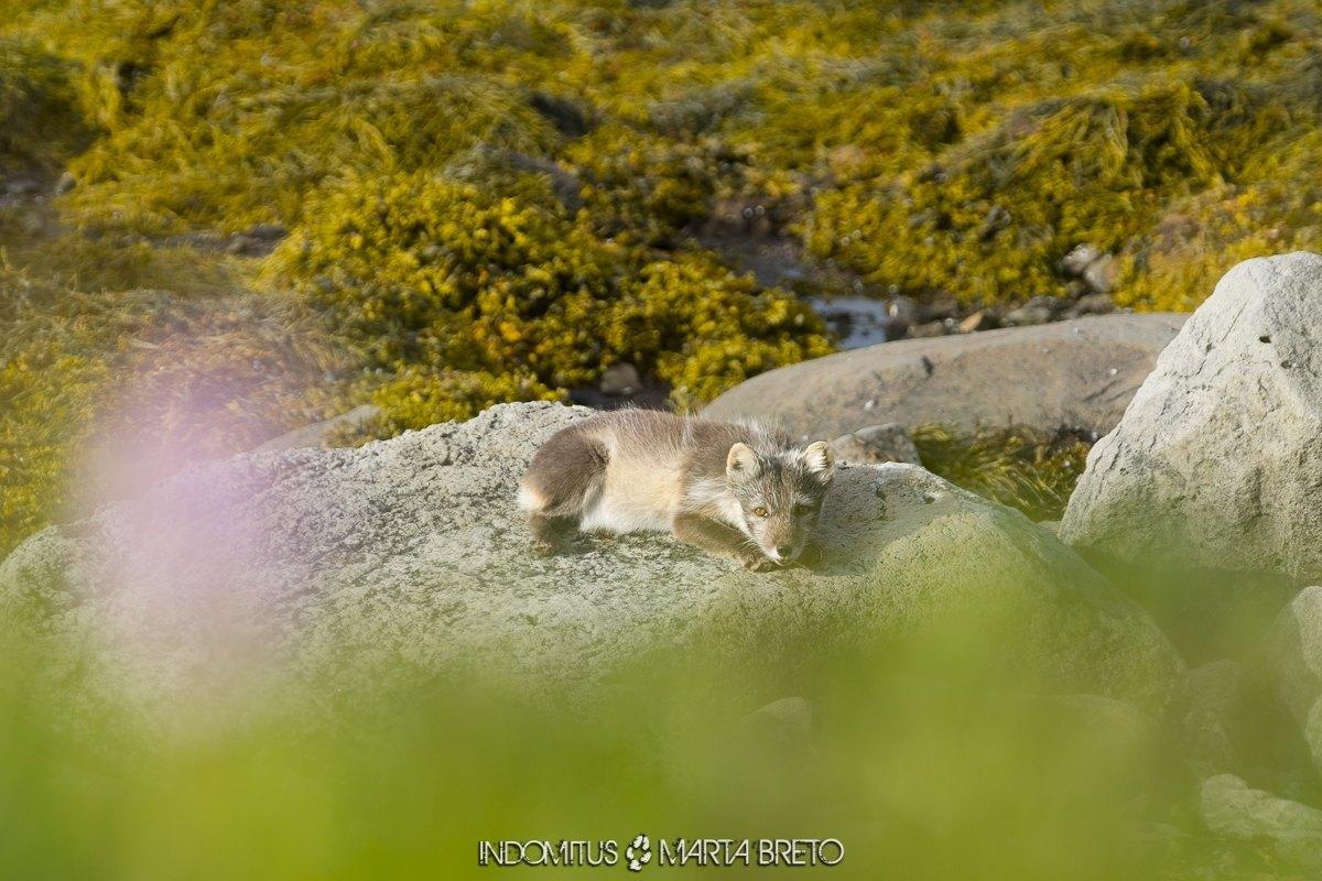 Hornstrandir-zorro-artico-islandia